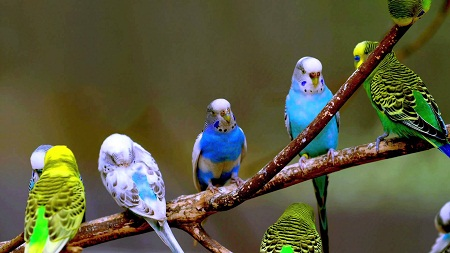 How to Take Care of Budgie Birds