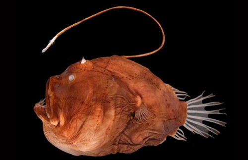 A list of 10 most dangerous underwater creatures for Angler fish pet