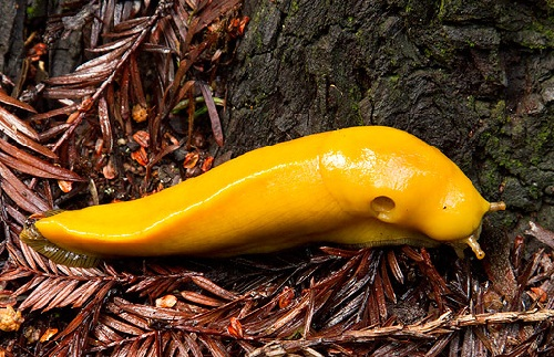 Banana slugs