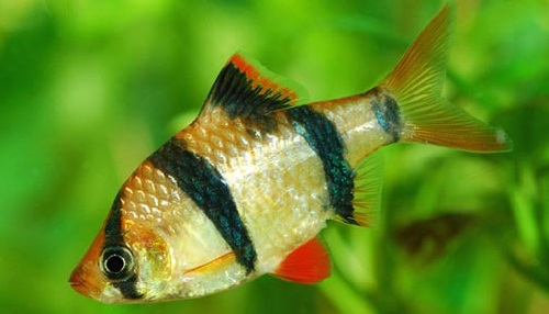 Barb Fish Diseases