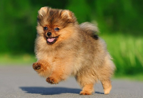 Pomeranians or the Toy Breed