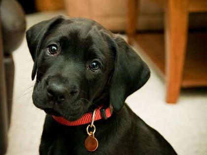 Dog Identification Tags