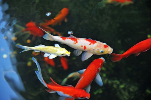 16 animals with longest lifespan for Koi fish species