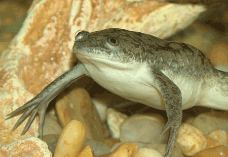 African Clawed Frog Diseases