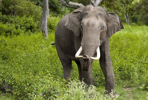 Asian Elephant Facts