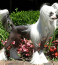 Everything Need to Know About Chinese Crested Dog Breed