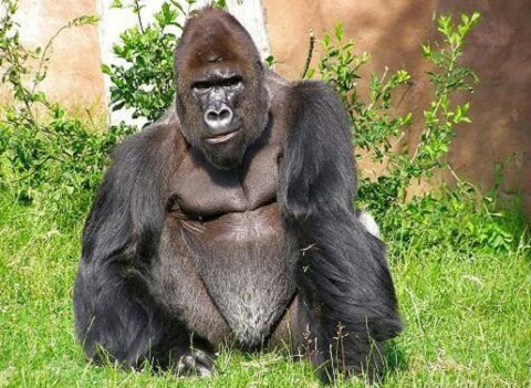 Cross River Gorilla Interesting Facts