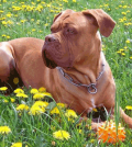 Dogue de Bordeaux Breeders – A Loyal Breed Devoted to the Owned Family