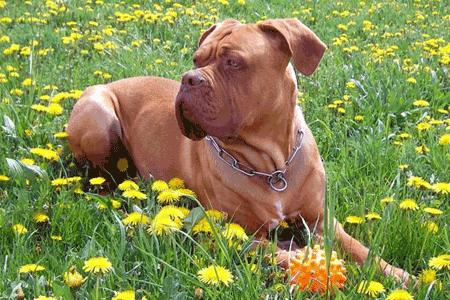 Dogue de Bordeaux Breeders