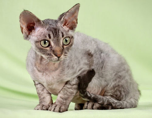 Devon or Cornish rex