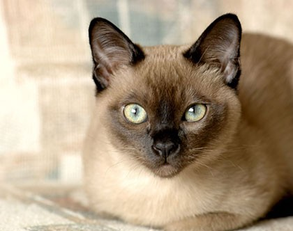List Of The Most Affectionate Cat Breeds