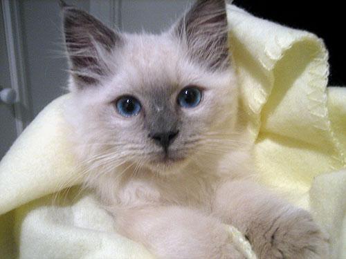 Can A Ragdoll Cat Have Short Hair