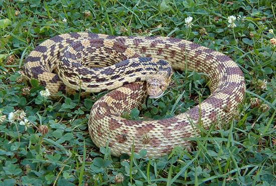 Gopher/Bull Snake