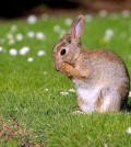 Fast Facts about Rabbits in Australia