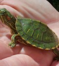 Water Turtles as Pets
