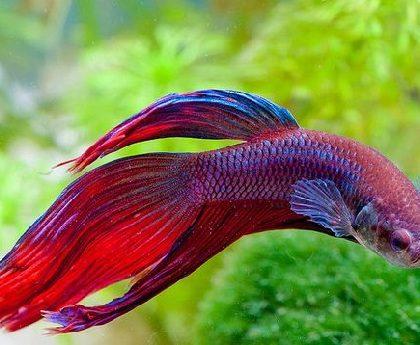 5 Common Types of Betta Fish Diseases