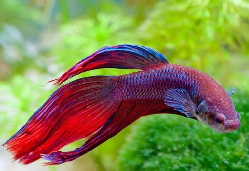 5 common types of betta fish diseases for Betta fish temp