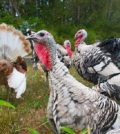 List of Turkey Breeds