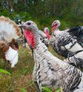 List of Turkey Breeds