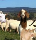Popular List of Goat Breeds