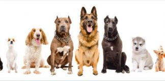 Life Span of Giant Dog Breeds