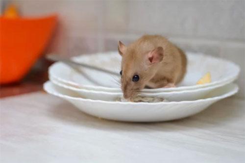 where are rats ticklish