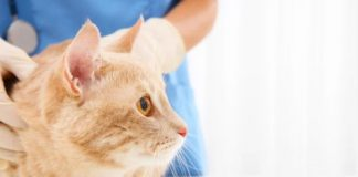Signs of Hyperthyroidism in Cats