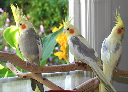 10 Different Types Of Pet Birds For Children A2z Pets Info