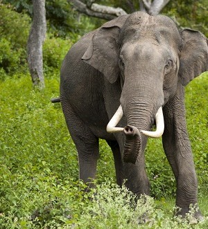 Asian Elephant Facts A2z Pets Info