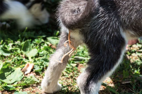 roundworm infection symptoms in dogs